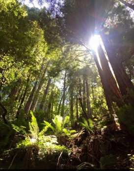 Muir Woods National Park- Redwood trees